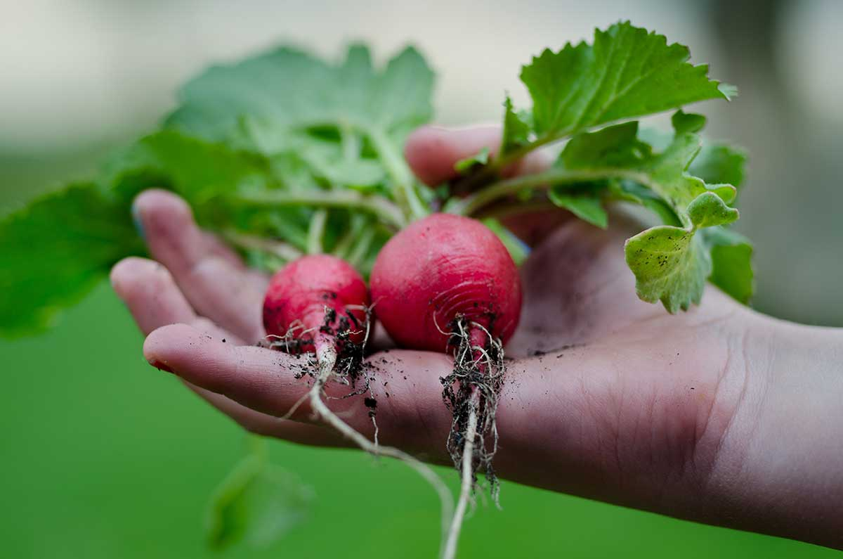 radishes in a hand