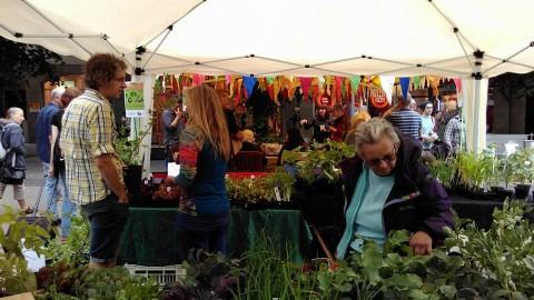 midsummer-market-average-cabbage